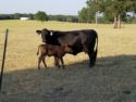 Itozurudoi TF151  and JVP Hiratafuji Bull Calves